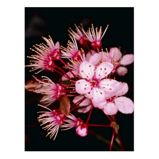 Red Blossom detail of flowering plum tree flowers Post Card