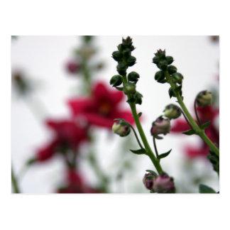 Red Blur Diascia - Floral Photography Postcard
