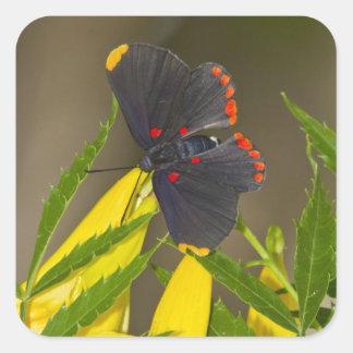 Red-bordered Pixie on esperanza brush Square Sticker