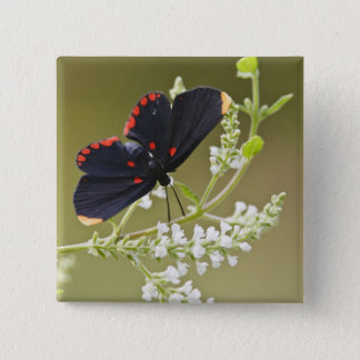 Red-bordered Pixie on white brush Button