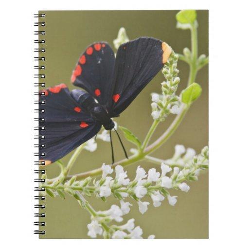 Red-bordered Pixie on white brush Spiral Note Books