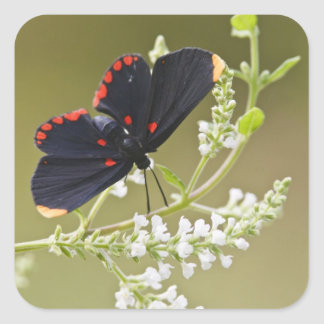 Red-bordered Pixie on white brush Square Sticker