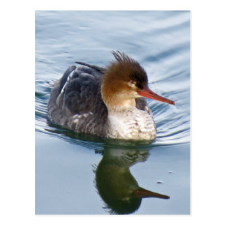 Red-Breasted Merganser Duck (hen) Postcard