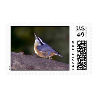 Red-breasted Nuthatch on branch Postage