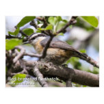 Red-breasted Nuthatch Postcards
