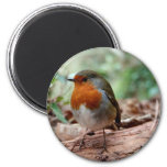 Red-breasted Robin on a Limb 2 Inch Round Magnet