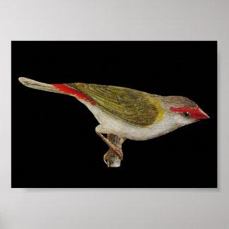 Red-browed Finch - Neochmia temporalis Folio Poster