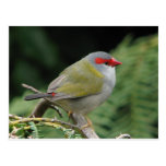 Red Browed Finch Postcards