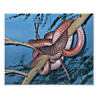 Red brown coiled poisonous snakes photograph