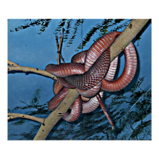 Red brown coiled poisonous snakes print