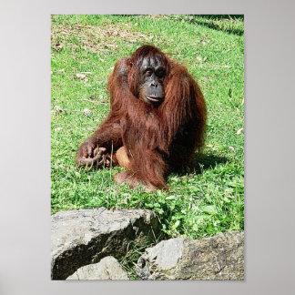 Red-Brown Haired Orangutan Photo Print