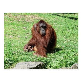 Red-Brown Haired Orangutan Sitting On Grass Postcard