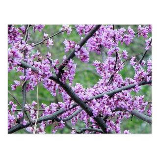 Red Bud Tree Post Card