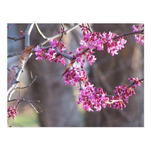 red buds postcard