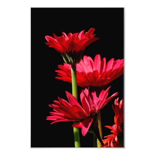 Red Burgundy Gerber Daisy Photo Print