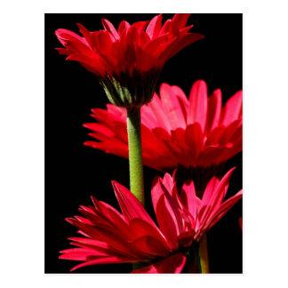 Red Burgundy Gerbera daisy Postcard