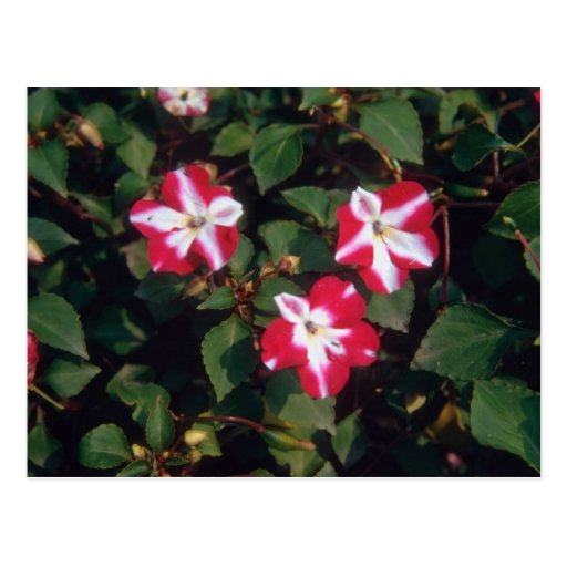 Red Busy Lizzy (Impatiens Wallerana) flowers Post Card