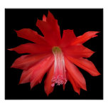Red Cactus Flower Print