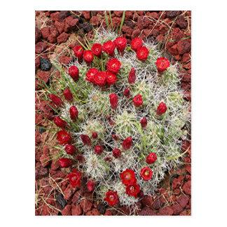 Red cactus flowers, Utah, USA Postcard