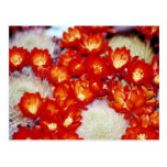 Red Cactus scarlet ball flowers Postcard