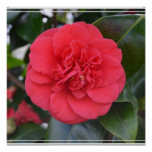 Red Camelia Flower Posters