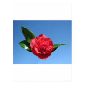 Red Camelia in Blue Sky Postcard