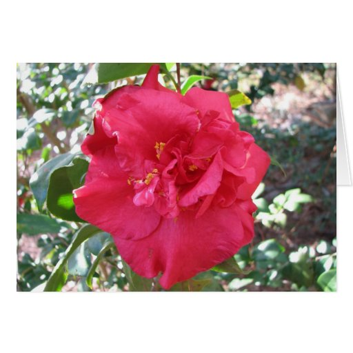Red Camellia Flower Cards