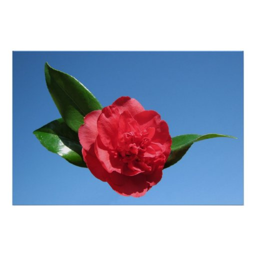 Red Camellia in Blue Sky Posters
