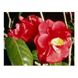 Red Camellia Japonica 'A. Audusson' Postcard