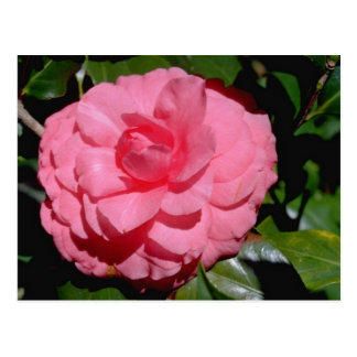 Red Camellia, japonica flowers Postcard