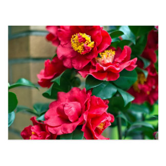 Red Camellia Postcard