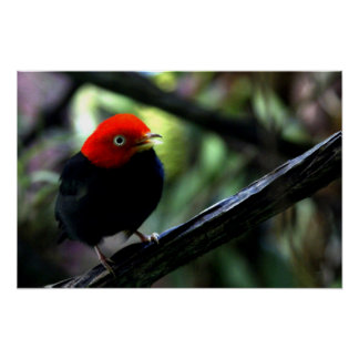 Red capped Manakin Print