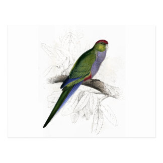 Red-Capped Parrakeet (Female) by Edward Lear Postcard