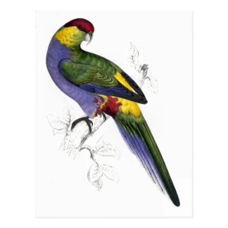 Red-Capped Parrakeet (Male) by Edward Lear Postcard