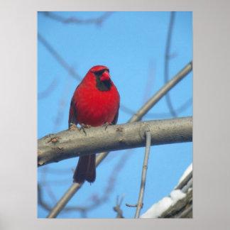 Red Cardinal/Bird Poster