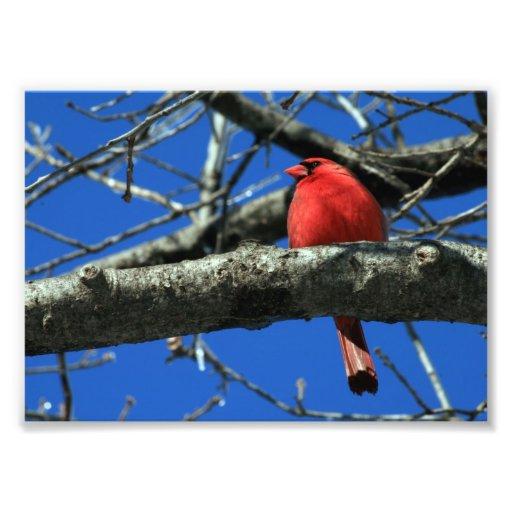 Red Cardinal in a Tree Photo Print