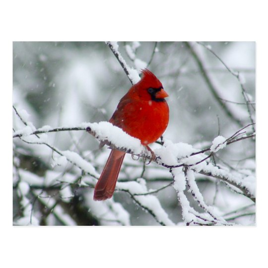 red cardinal in the snow postcard zazzle com