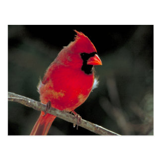 Red Cardinal Perched on a Tree Branch Postcard