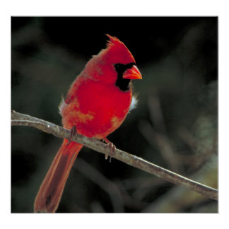 Red Cardinal Perched on a Tree Branch Poster