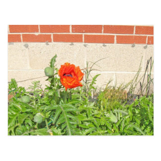 Red Carmen Poppy in Full Bloom Postcard