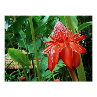 Red Carribean Rose Exotic Flower Poster