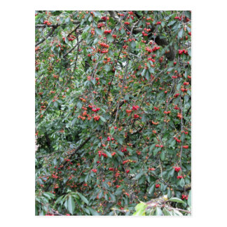 Red cherries on tree in cherry orchard postcard
