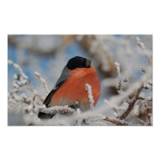 Red Chested Bird in Frosted Tree Poster