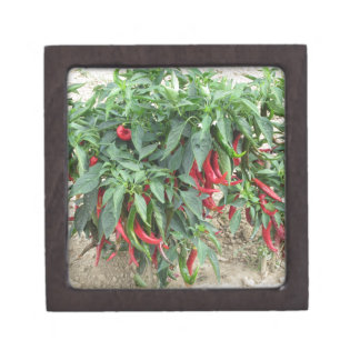 Red chili peppers hanging on the plant gift box