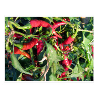 Red chili peppers hanging on the plant postcard