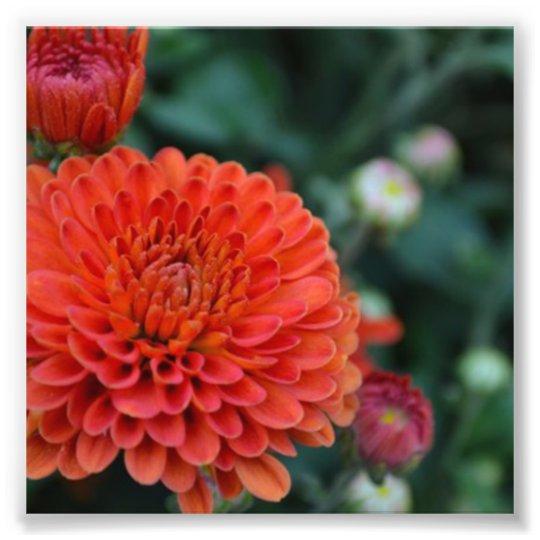Red Chrysanthemum Photo Print Zazzle Com
