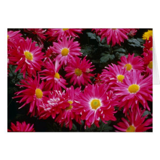 Red Chrysanthemum 'Priscilla' Card