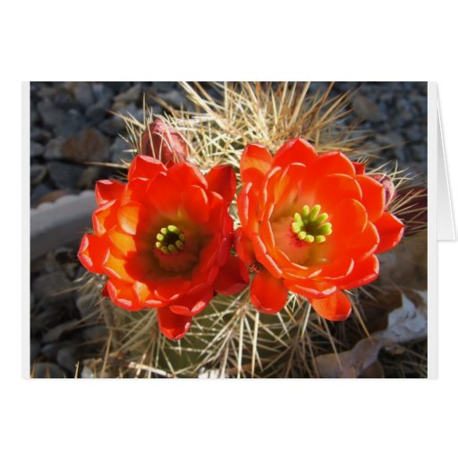 Red Claret Cup Cactus Blossoms Greeting Card