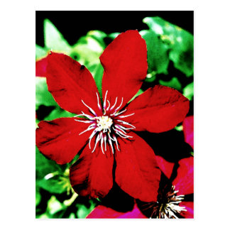 Red Clematis Climbing Flowers Postcard
