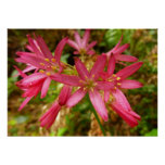 Red Clintonia Flowers Pretty Wildflower Poster